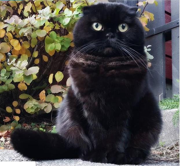 black cat scottish fold