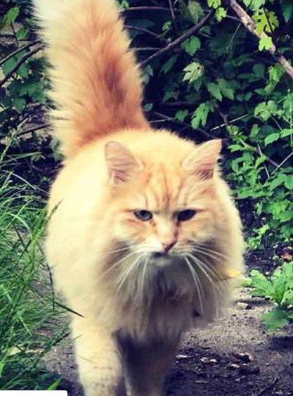 siberian forest cat Mr. Muk