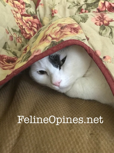 black and white cat hiding under blanket