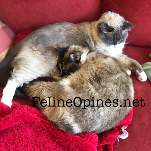 Siamese cats cuddling