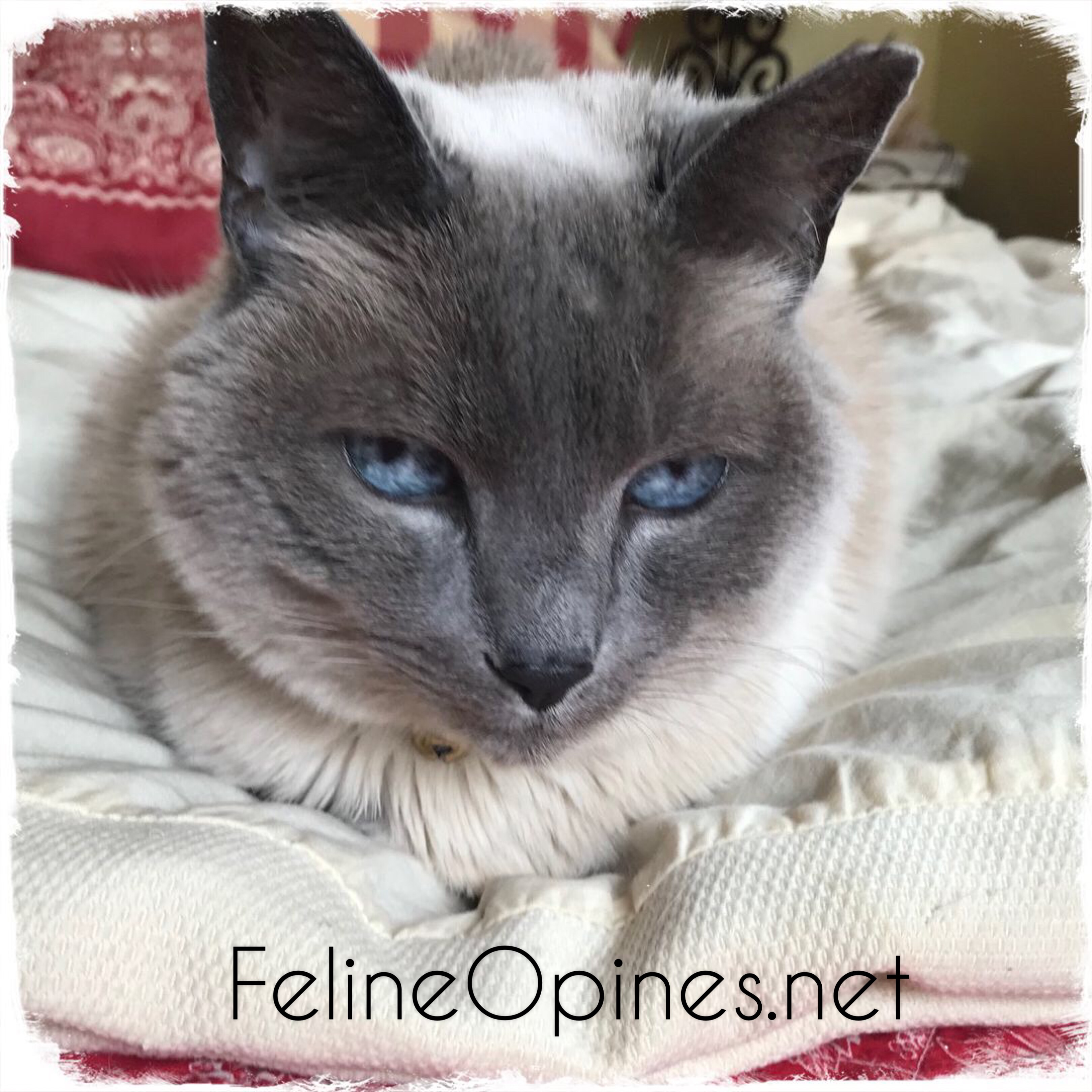 Lilac poiont Siamese