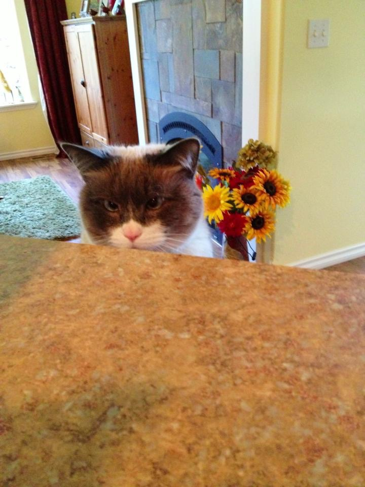 Siamese cat sitting at counter