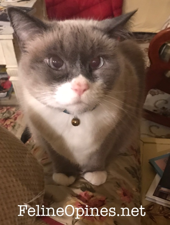 cross eyed Siamese