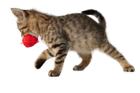 Cute Little Kitten With A Wool Ball In Mouth