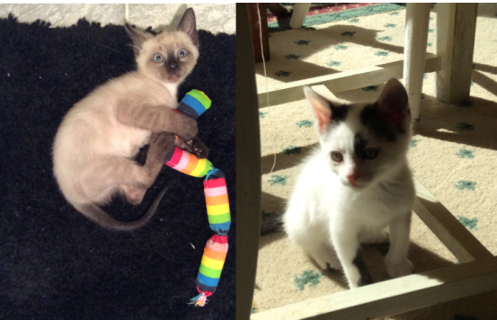 Siamese and black and white kitten, Alberto and Oliver from Feline Opines